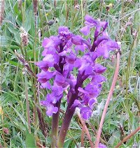 Green Winged Orchid © MykoGolfer