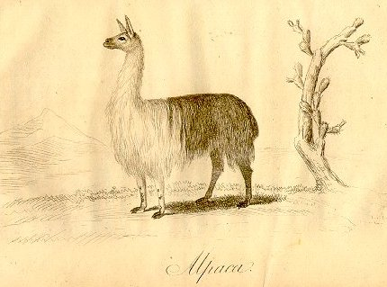 Picture from Peruvian Sheep by William Walton, 1811